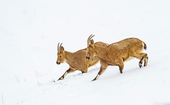 Himalayan Ibex - Walking in Step