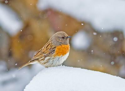 Accentor Robin