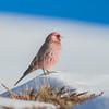 Great Rosefinch