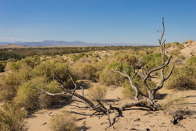 Fallen Tree in Mojave Desert
