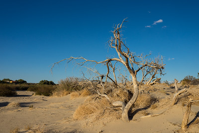 Old Dead Desert Tree