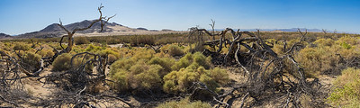 Dead Trees in Mojave Desert
