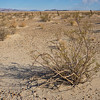 Brush Grows in Creosote Patch