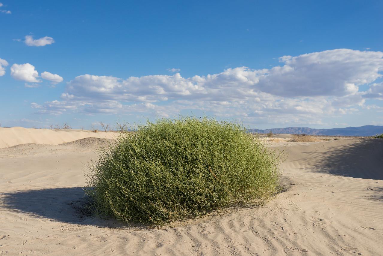 Green Brush in Mojave Desert