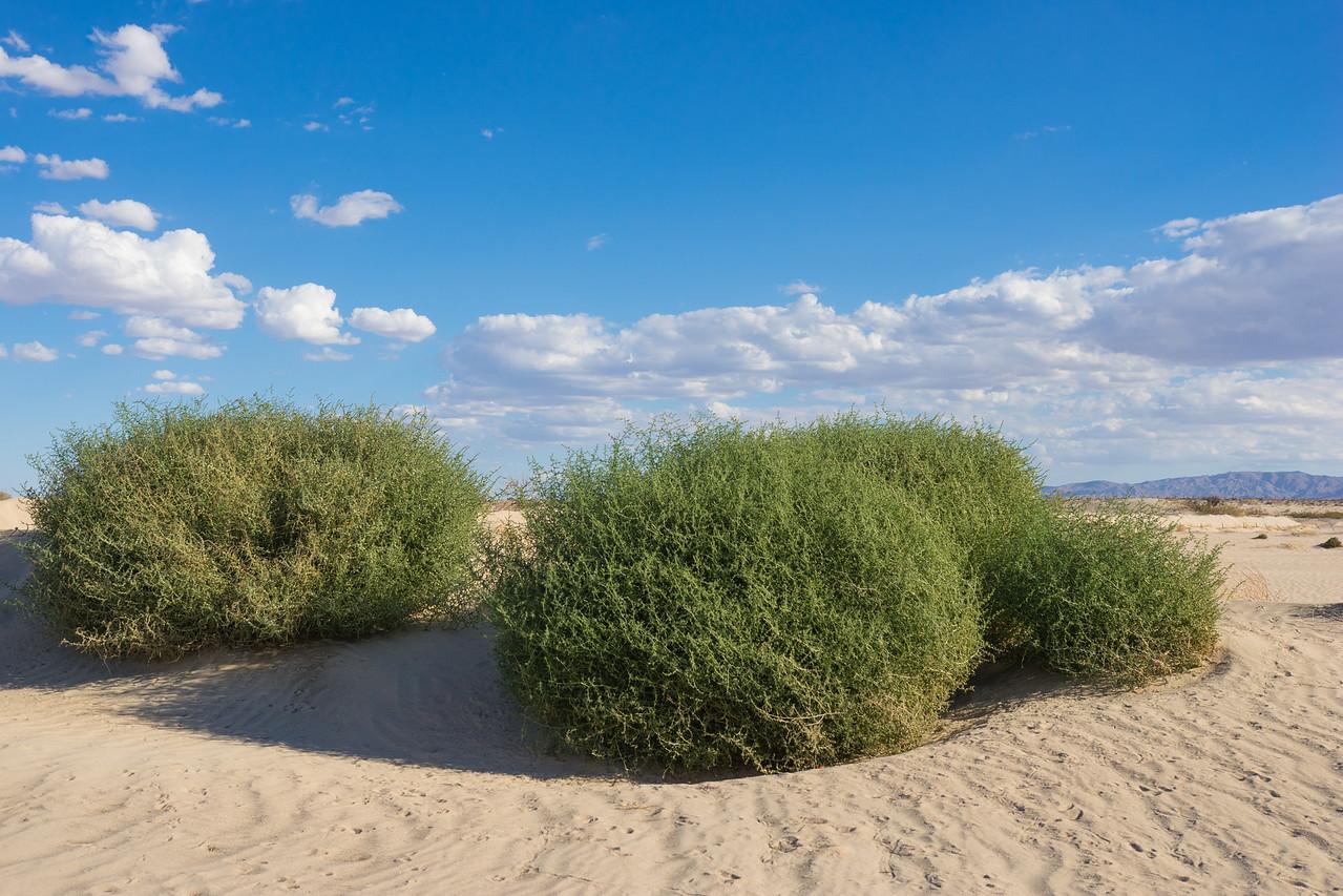 Bright Green Bushes in Desert