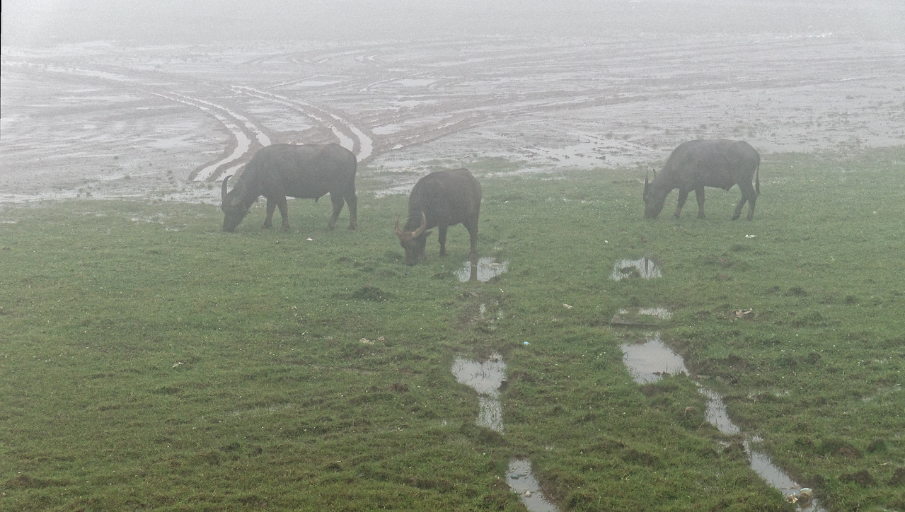 Water buffalo grazing in the middle of Sapa town