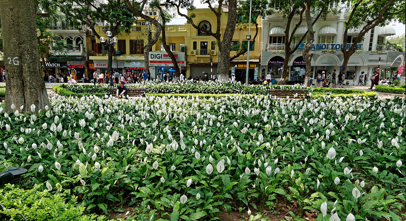 Anthuriums in one area of a park that surrounds Hoan Kiem Lake