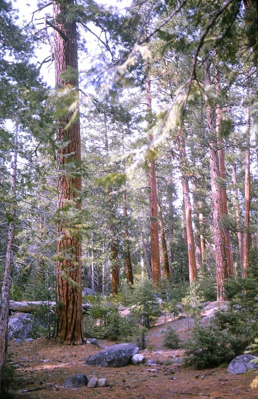 Ponderosa Forest, Sierra Nevada Range, California