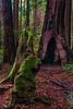 Muir Woods, NP, CA