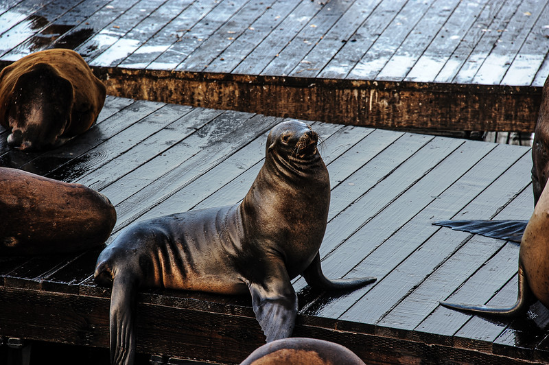 Seals on Pier;  San Francisco