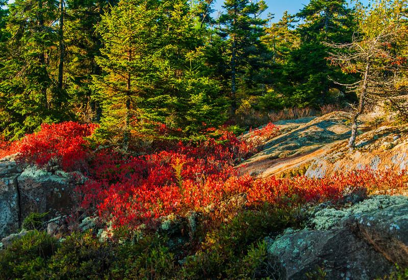 Cranberry Bushes, Acadia NP