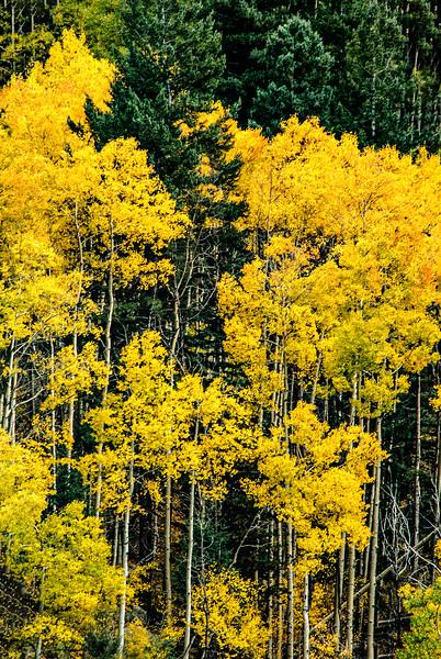Fall Aspens, Santa Fe Ski Basin