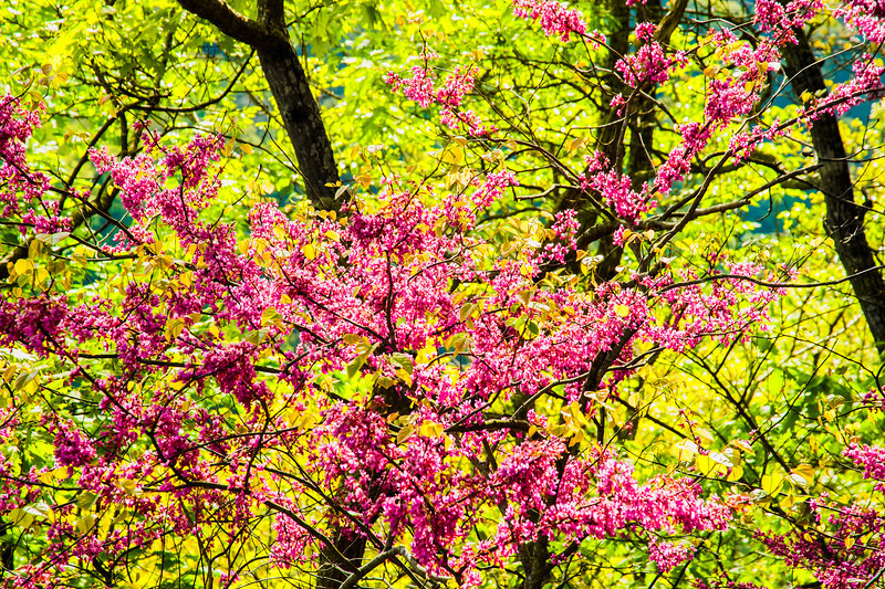 American Redbud, New River Gorge