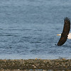 American Bald Eagle<br /> <br /> Bald Eagles live strictly in North America and every state except for Hawaii, near large bodies of water where the fish are plentiful and tall trees for nesting and roosting. The largest proportion found in the Northwest, especially in Alaska.