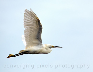 Egret at Pt. Isabela, Richmond, ca