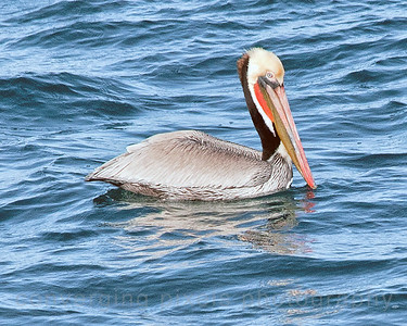 "Brown Pellican at Moss Landing, Ca.  ""pelican"""