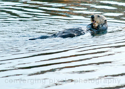 Sea otter at Moro Bay, Ca.
