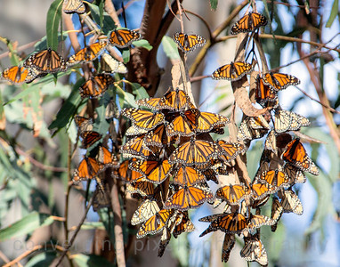 Pismo Beach State Park Monarch Butterfly Grove   Feb. 2014   2435