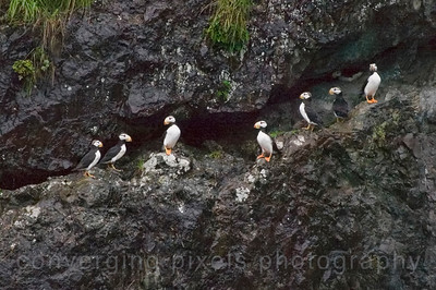 Puffins at Resurrection Bay, Seward, Alaska.  #3770