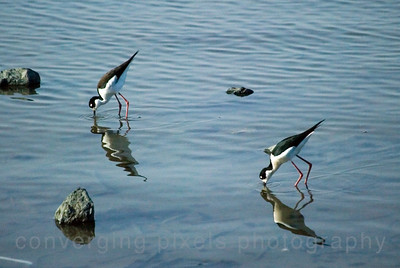 Black-neck Stilt birds - Martinez Shoreline, Ca. #0062.