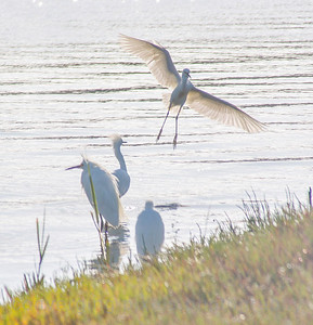 Snowy white Egrets at Bothin Marsh, Mill Valley, Ca.