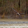 Eagle feeding at Mosquito Lake Road Bridge
