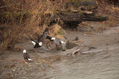 Fiesty eagles at North Fork Pullout One