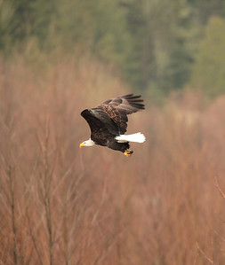 Eagle in flight at North Fork Pullout One