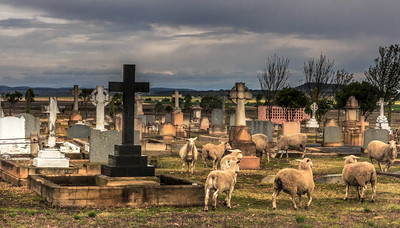 C 21 Sheep in the Cemetery