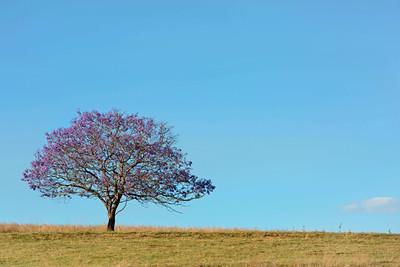 C69 My Jacaranda Tree