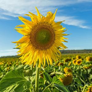 C 79 Sunflower Blue