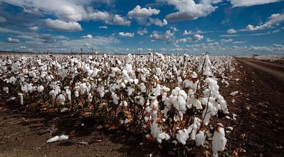 C 14 Cotton Fields of Home