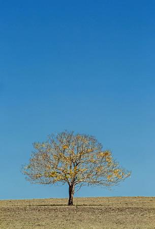 C 12  The Yellow Tree 2
