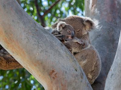 WL 08 Koala Cuddles