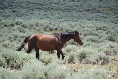 Wild horse at Little Bighorn Battlefield National Monument, Montana