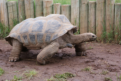 Methuselah, a Galapagos Tortoise, at Reptile Gardens, South Dakota