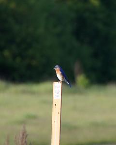 Blue bird, Rice Creek Preserve, Shoreview, Minnesota