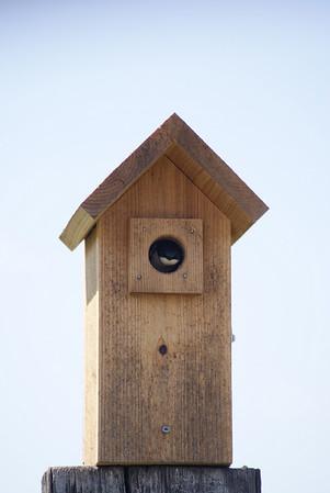 Tree Swallow in Montana