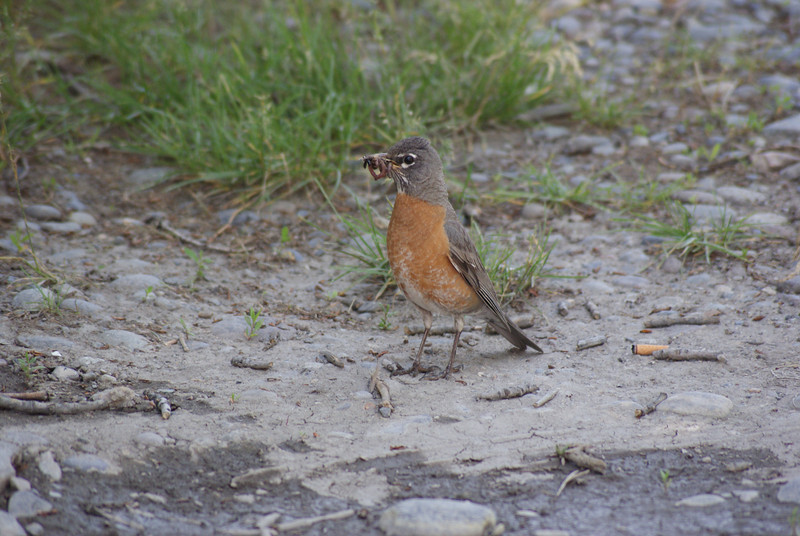 Robin gathering food on the banks of the Yellowstone River in Itch-Kep-Pe Park, Columbus, Montana