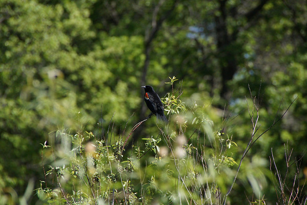 Red Wing Black Bird, Central Park, Roseville, Minnesota