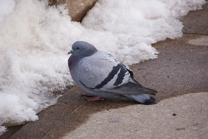 Pigeon that was getting a drink on the path by the Stillwater Bridge.