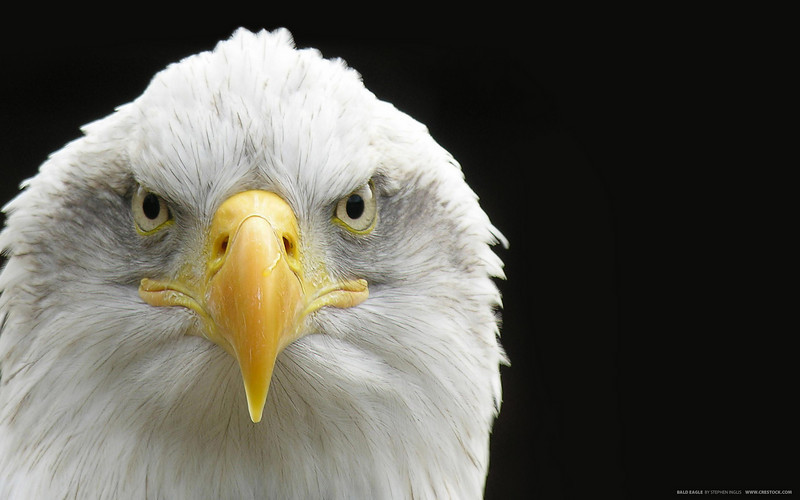 Close up shot of a Bald Eagle
