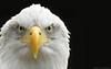 Close up shot of a Bald Eagle