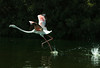 flamingo takeoff