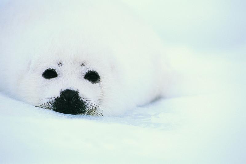 Harp Seal Pup Arctic