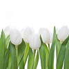 tulips white in row