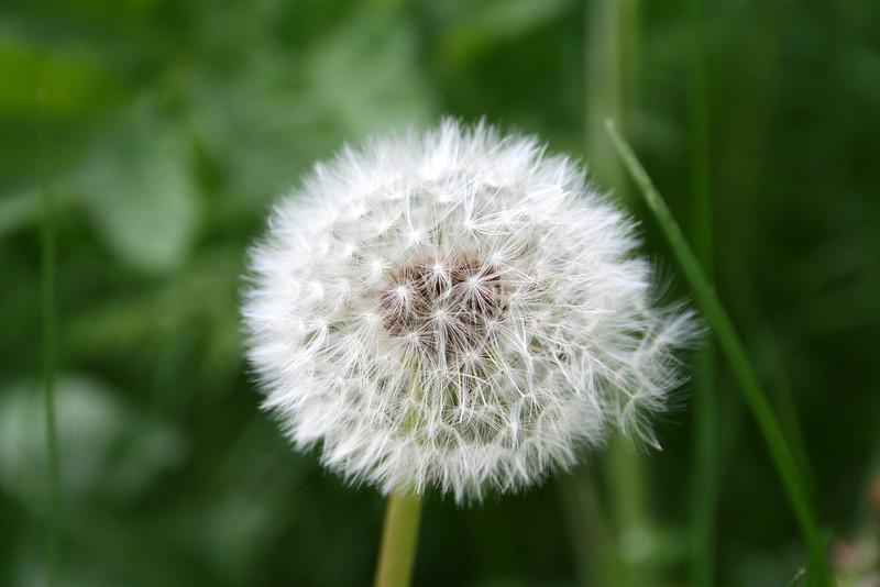 dandelion fuzz