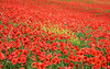 Landscape - poppy's field, red flowers and green grass