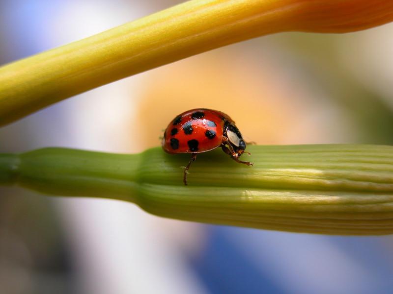 ladybug side view