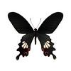 butterfly-black